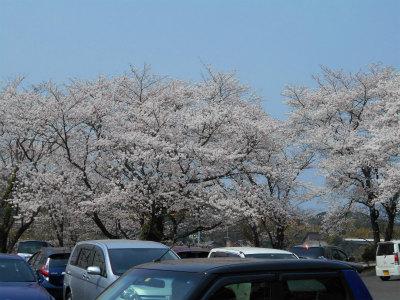 3.31桜が満開
