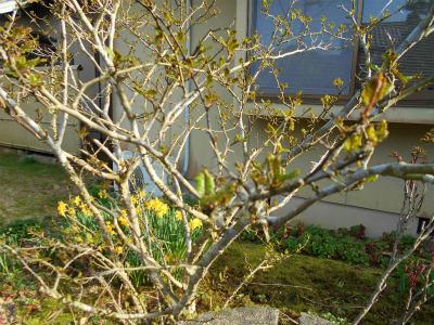 3.31山椒の芽が出て来た
