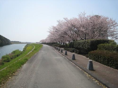 矢部川沿いの桜並木