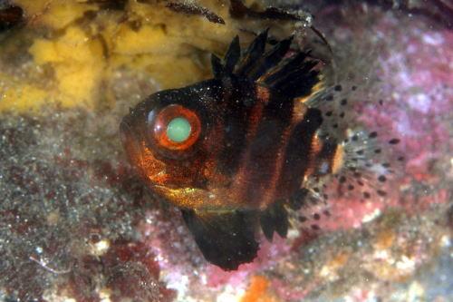 クルマダイ幼魚