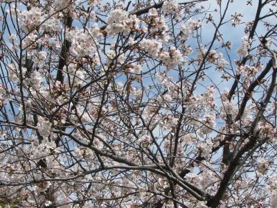 モリモリ桜