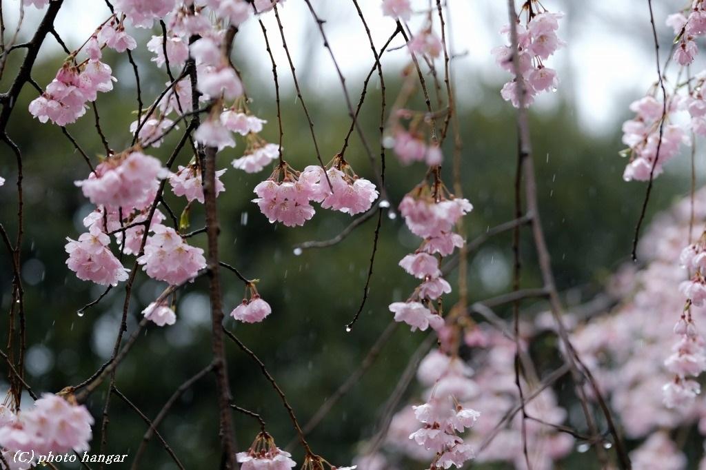 晩冬の雨としだれ桜