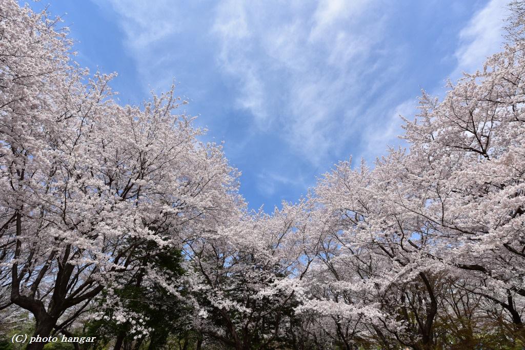 空と桜と雲
