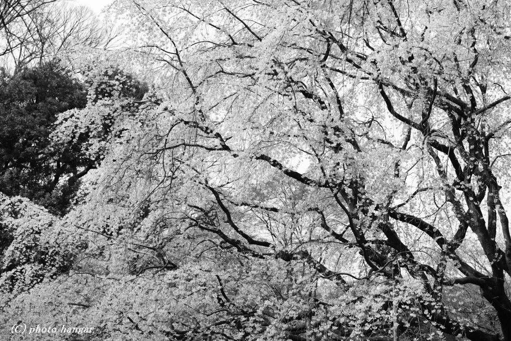 モノトーン桜