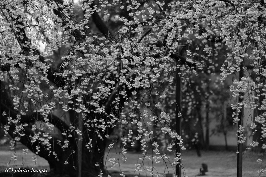 桜ながれふる