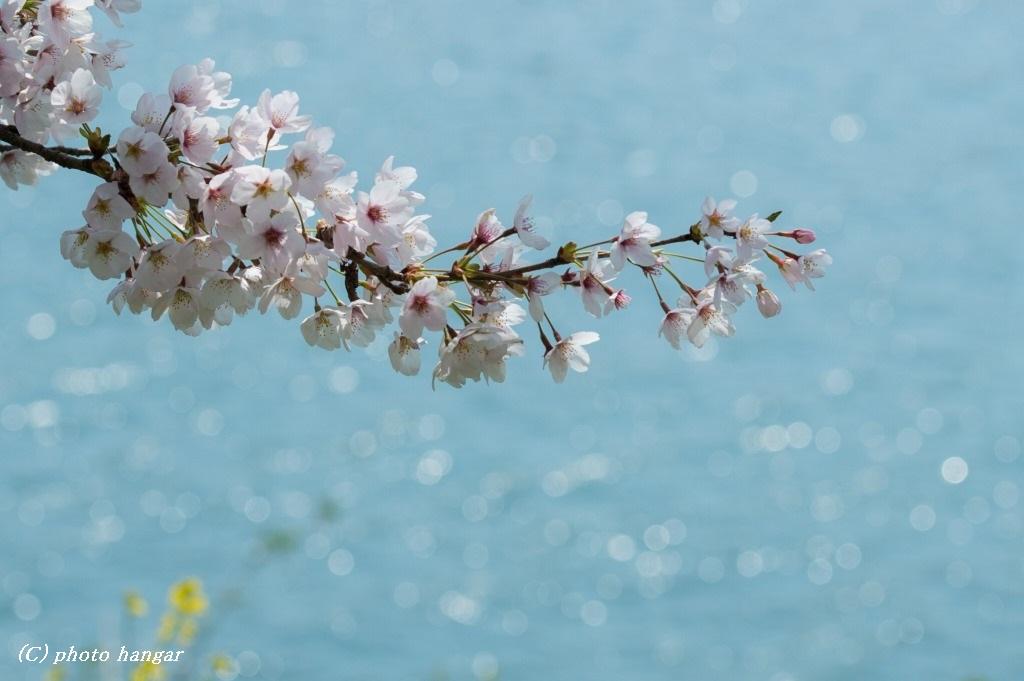 風と桜と光と