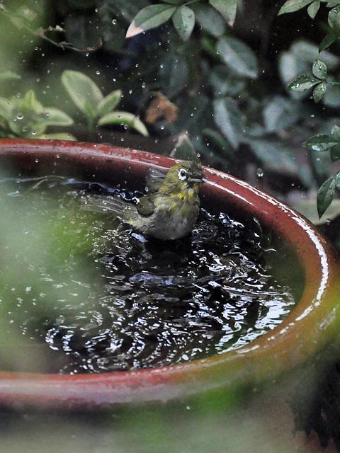水浴びメジロ