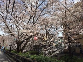 宿河原の桜_04