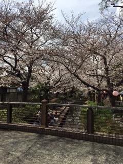 宿河原の桜_05