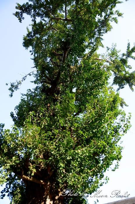 高尾神社の銀杏の大木