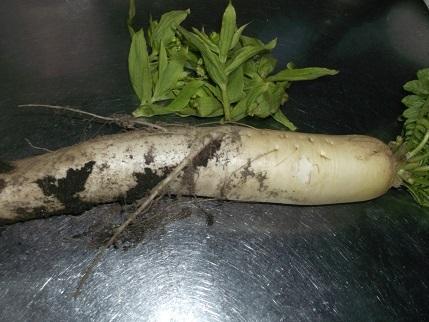 大根と蕗の薹