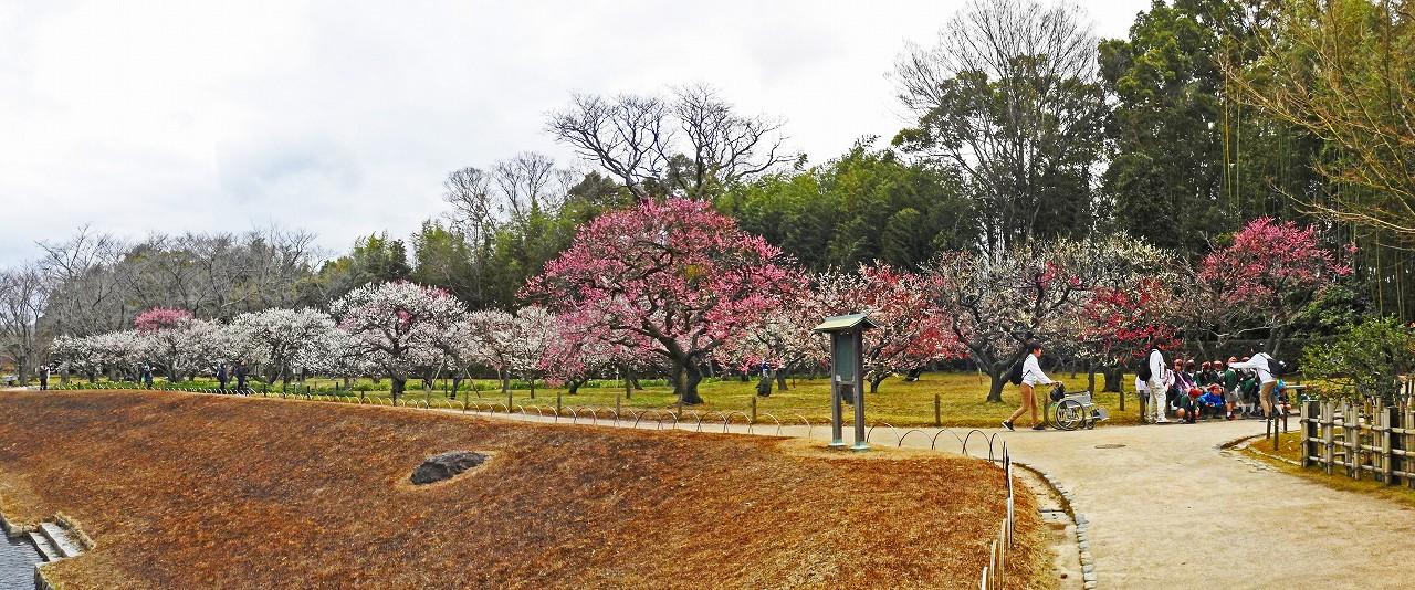 20180309 後楽園今日の茶祖堂西側から眺めた梅林の花の様子ワイド風景 (1)