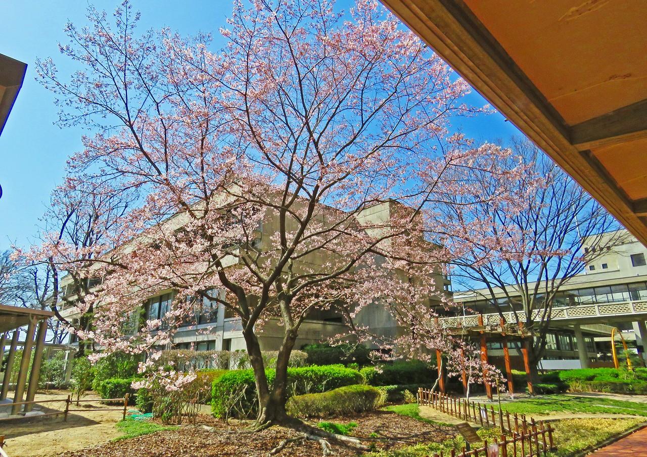 20180317 岡山県庁今日の醍醐桜の開花の様子 (1)