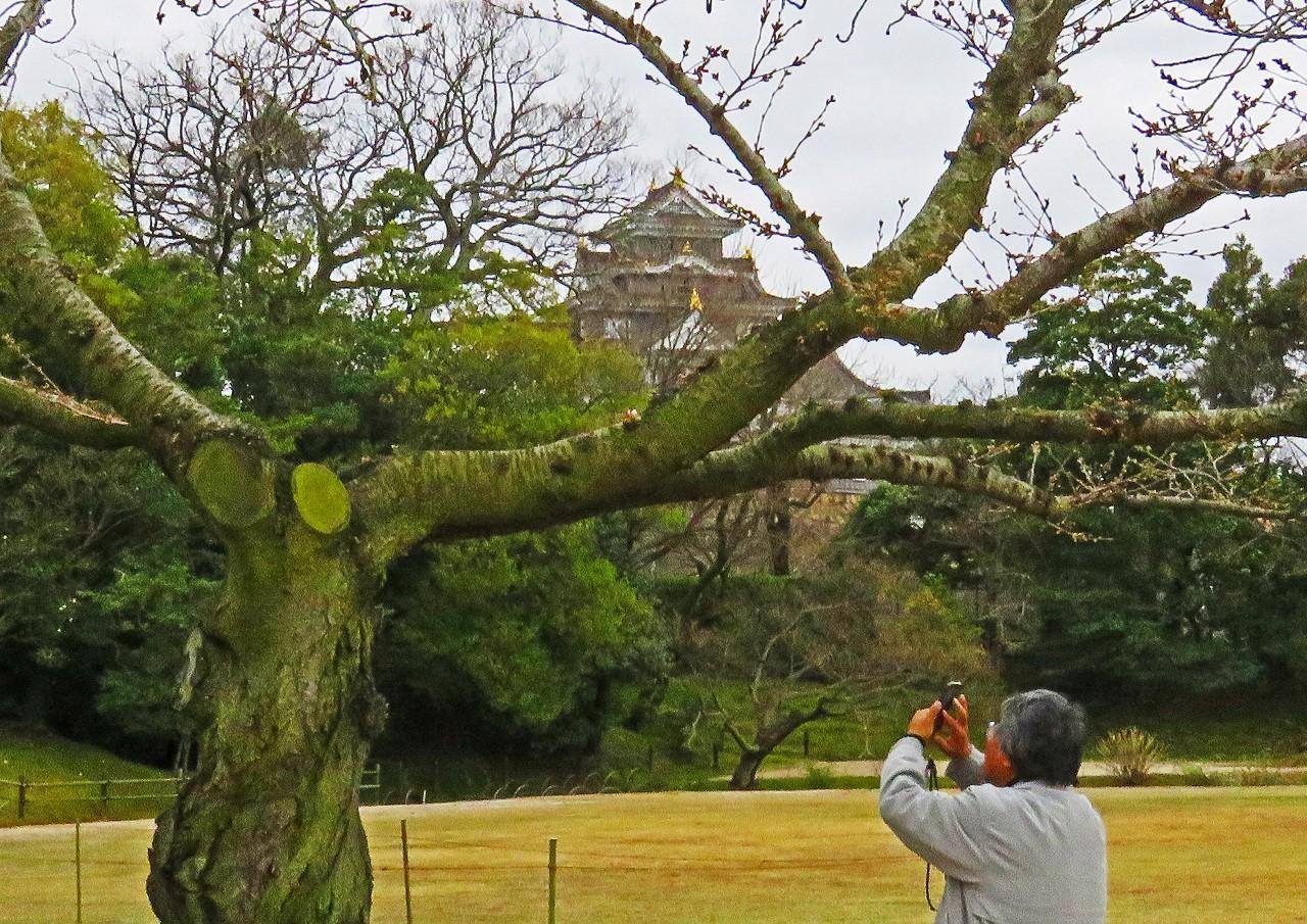20180320 後楽園今日の桜林の桜一番咲きの様子の樹 (1)