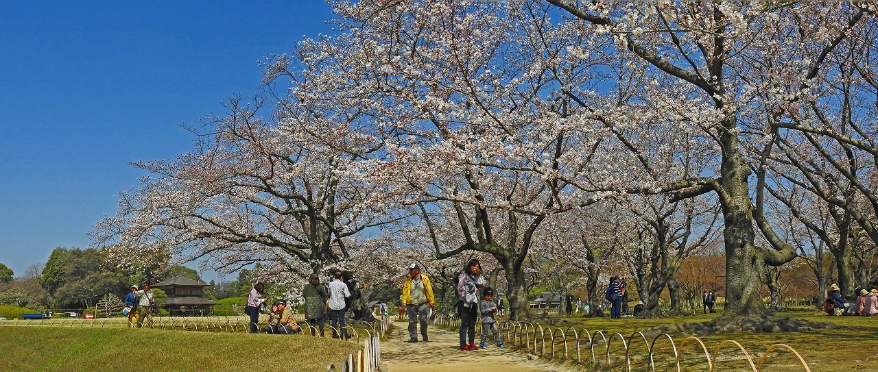 20180327 後楽園今日の桜林の桜の花の様子ワイド風景 (1)