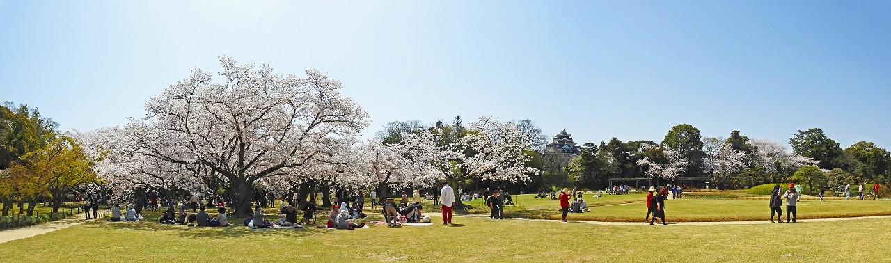20180331 後楽園今日のイベント広場中央から眺めた桜林の桜満開の様子のワイド風景 (1)