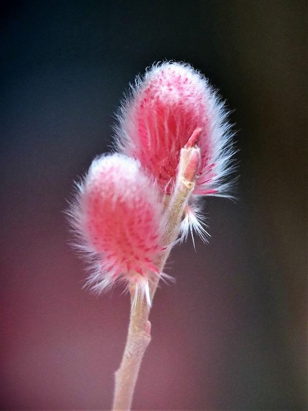 ピンクのネコヤナギ2t