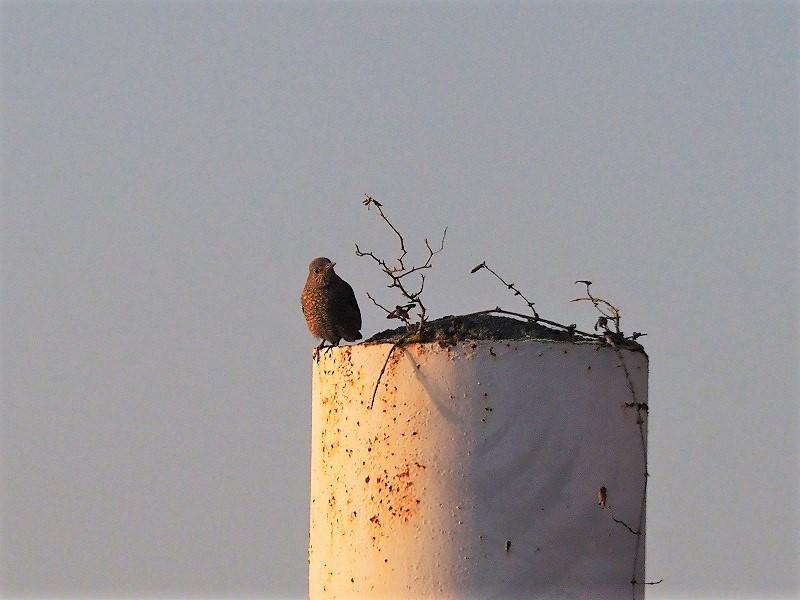 イソヒヨドリの♀1