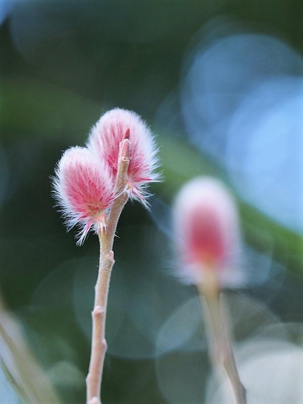 ピンクのネコヤナギ1t