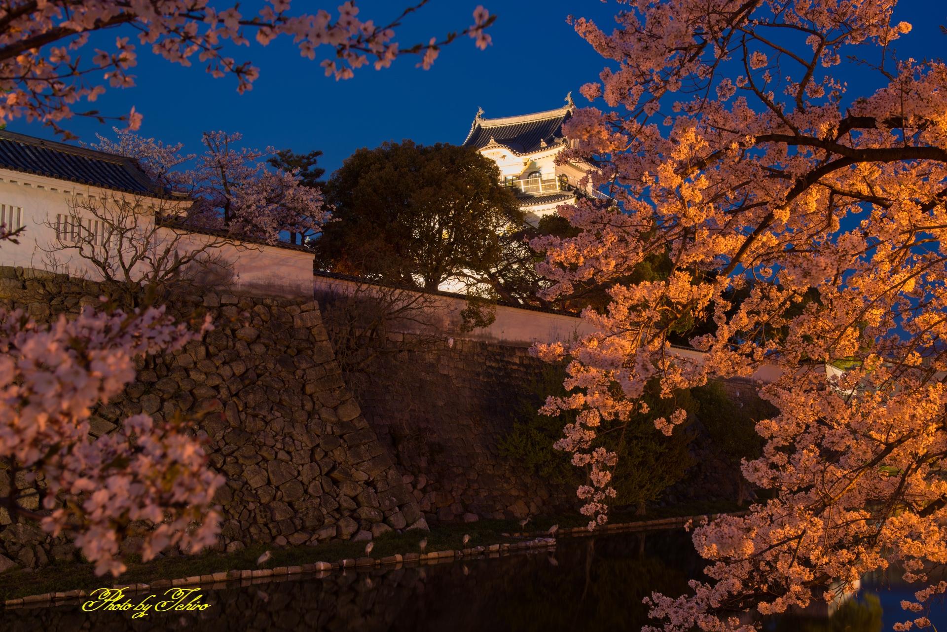 夜桜と岸和田城