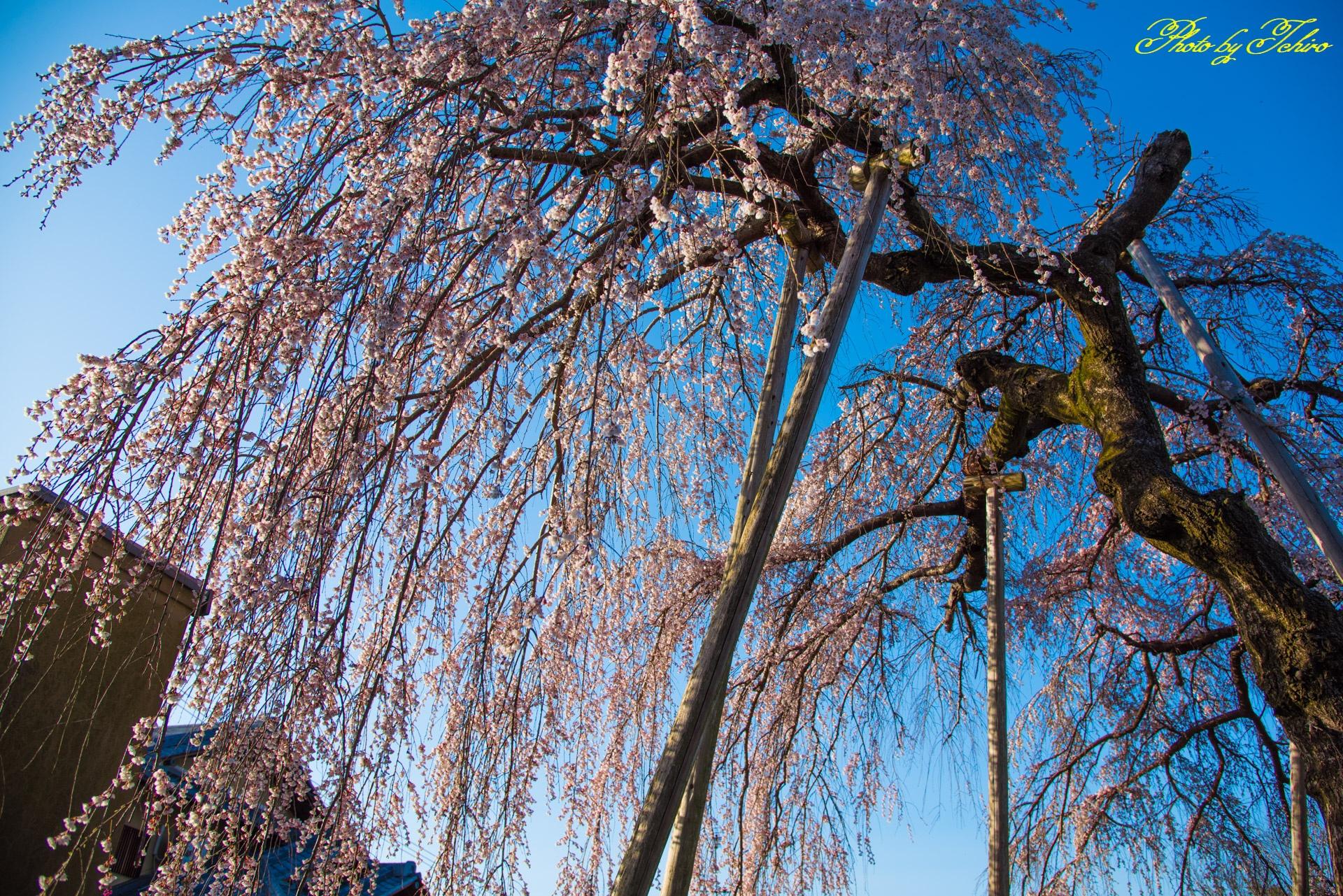 枝垂れ桜のシャワー