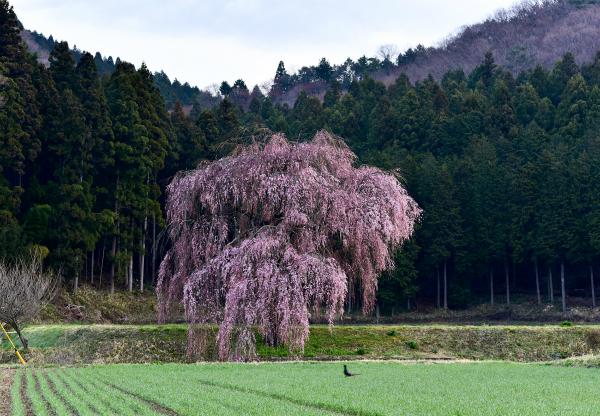 篠井のしだれ桜