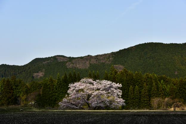 観音桜(鹿沼市)