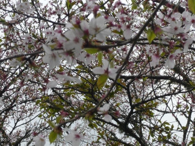 桜と着物とお弁当