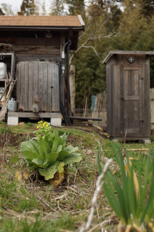 房総フィールドガーデン 白菜の菜の花
