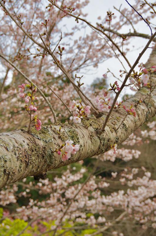 房総散歩 桜咲く