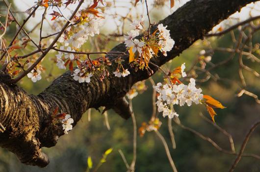 房総 桜 山桜