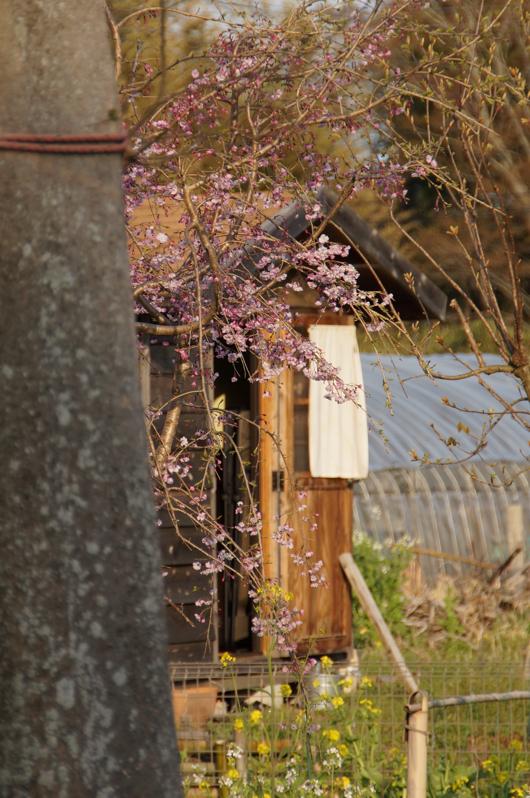 房総 桜 枝垂桜