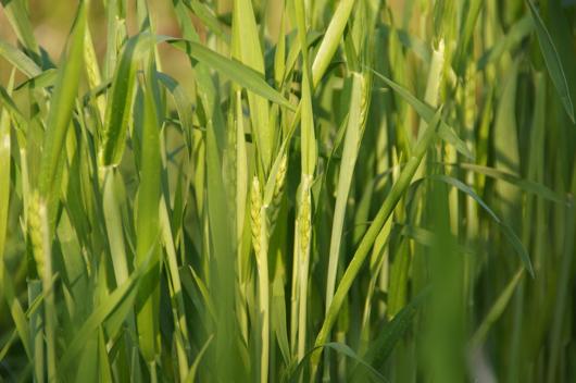 房総フィールドガーデン 小麦