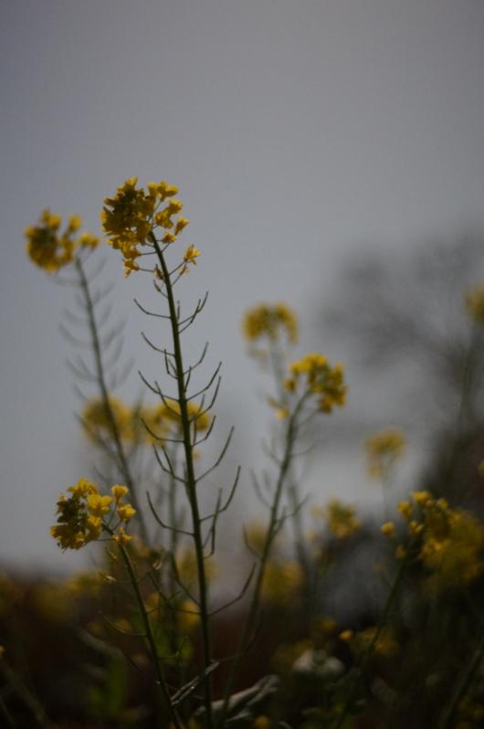 房総フィールドガーデン 月明かりの菜の花