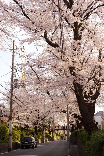 夕方の桜フォト・多摩川 2018