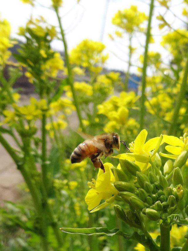 菜の花と蜂02