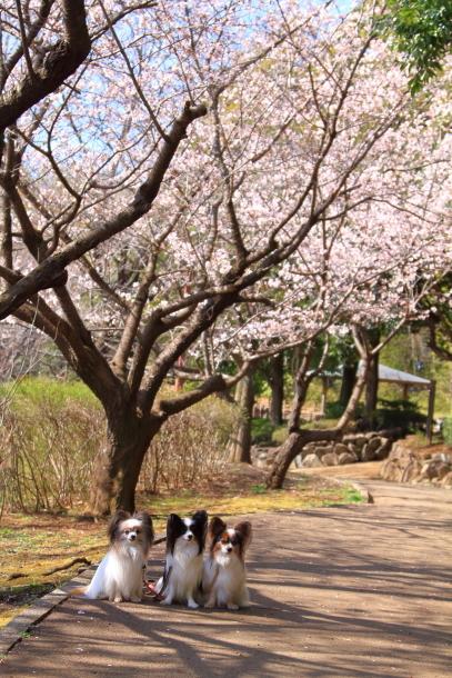 ふるさと公園の玉縄桜201800043542