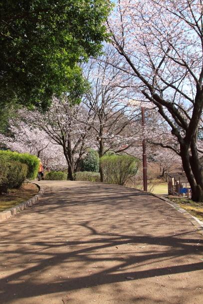 ふるさと公園の玉縄桜201800043541