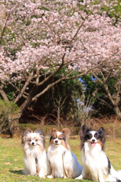 ふるさと公園の玉縄桜201800043570