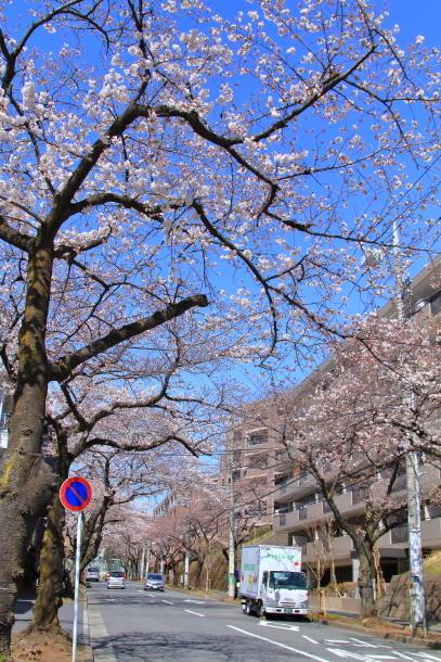 近所の桜まだまだ00044186