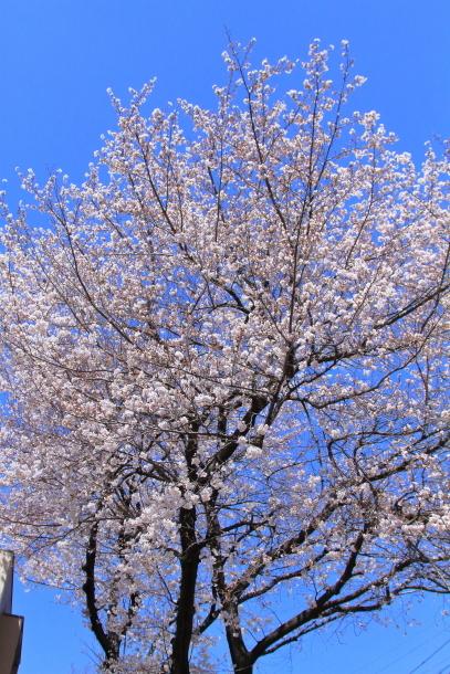 近所の桜まだまだ00044188