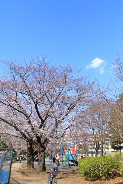 近所の桜まだまだ00044189