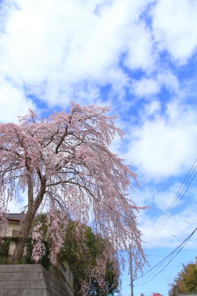 近所の桜まだまだ00044181
