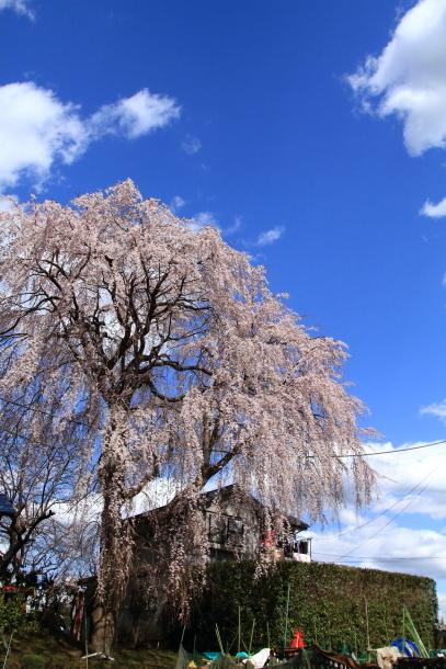 近所の桜まだまだ00044219