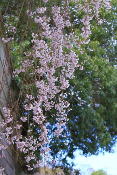 近所の桜まだまだ00044171