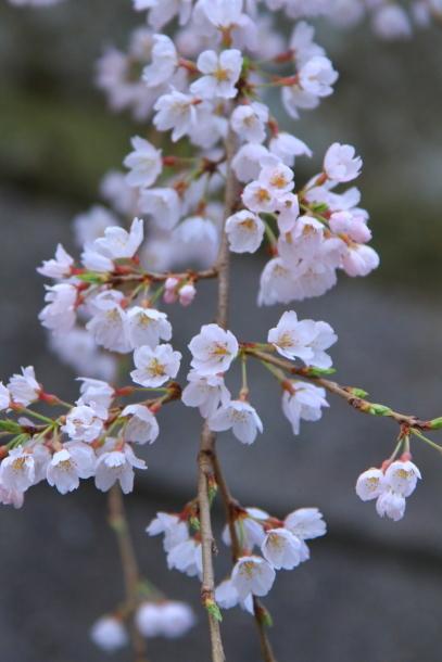 近所の桜まだまだ00044178