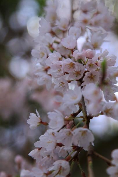 近所の桜まだまだ00044236