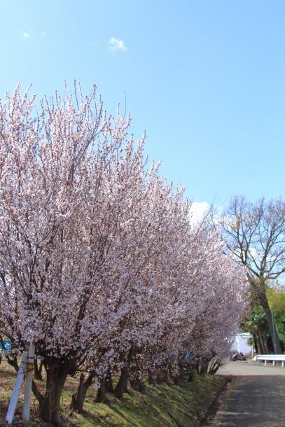近所の桜まだまだ00044202