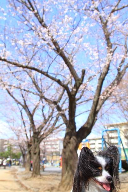 近所の桜まだまだ00044194