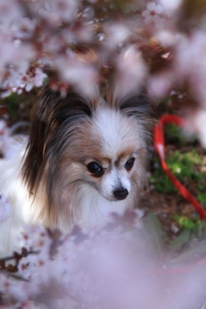 近所の桜まだまだ00044209